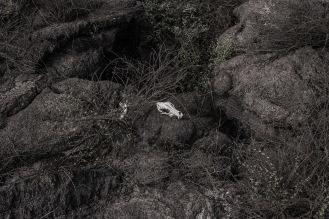 La introducción a las islas de fauna invasora por parte del humano, ha sido uno de los principales factores de afectación natural a la vegetación endémica de la zona.